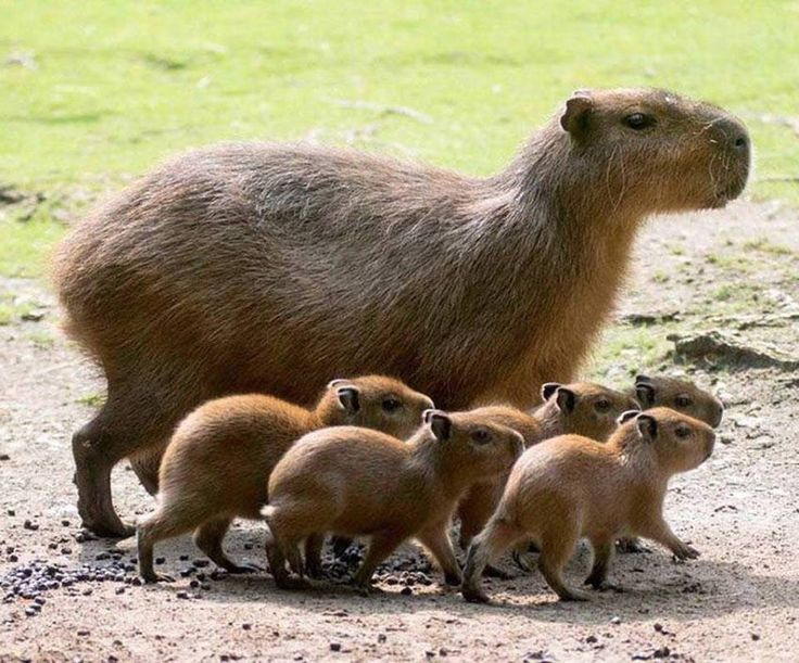 Zoo Berlin welcomed five baby Capybaras to their South American exhibit! The pups, along with mother, Lucia, explored their enclosure for the first time, careful to stay close to mother. Credit: Berlin Zoo.