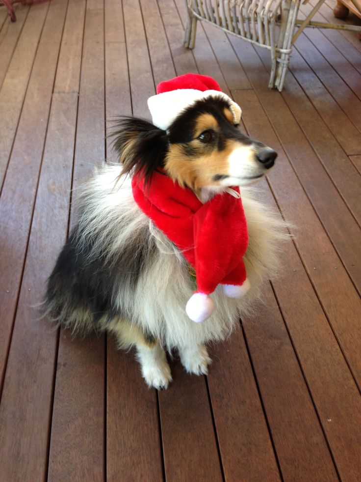 Flynn the Sheltie at christmas