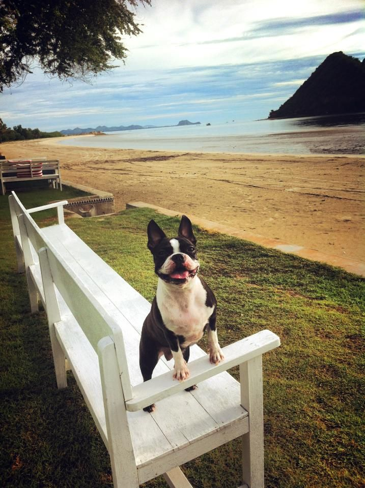 Bossa the Boston Terrier Dog on the Beach in Thailand (PHOTO) - http://www.bterrier.com/bossa-the-boston-terrier-dog-on-the-beach-in-thailand-photo/