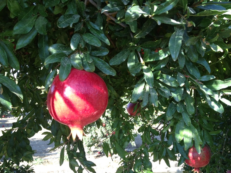 Just a pomegranate basking in the sun at the POM Wonderful orchard.