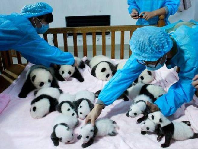 Sul cavallo a dondolo, mentre schiacciano in pisolino tutti insieme, fanno merenda, giocano con una palla o si abbaruffano. I tantissimi utenti sul Web che hanno visto le foto concordano: è uno dei posti più teneri della Terra. Gli scatti arrivano dal Chengdu Research Base of Giant Panda Breeding a Chengdu, in Cina, o Centro di ricerca e allevamento dei panda giganti. È una sorta «di asilo nido» per panda, un parco aperto dal governo locale nel 1987 che imita l'habitat naturale degli…