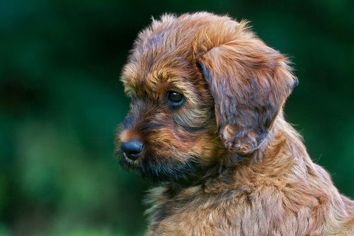 all-things-bright-and-beyootiful:    Balou - Briard pup by Rob Christiaans 