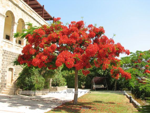 Delonix regia seeds,Outdoor bonsai tree seeds.Flame of forest red flowers, ornamental bonsai trees safflower   tree 10pcs/bag