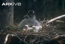 Female northern goshawk, subspecies <i>atricapillus</i>, on nest