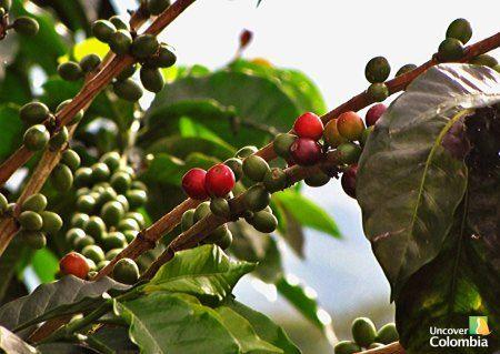 Coffee plantation in Quindio - Colombia's coffee region