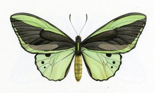 .Scientific Illustration, Australian Butterflies, Nature, Amazing Artworks, Art Photography Image, Body Art, Bees Illustration, Chelsea Gordon, Art Art