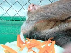 Just a Sloth Eating Carrots (gif)