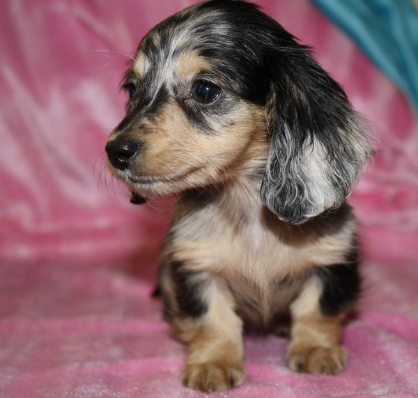 dachshund puppy for sale near jacksonville north carolina les 25 meilleures id 233 es de la cat 233 gorie dachshund breeders 273