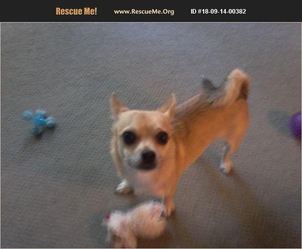Chihuahua Walkerville Mi Chihuahua Rescue Chihuahua