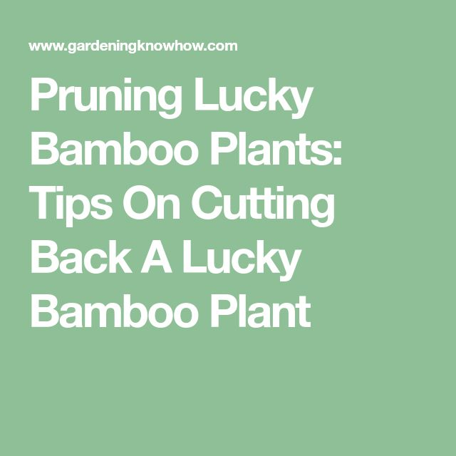 Pruning Lucky Bamboo Plants: Tips On Cutting Back A Lucky Bamboo Plant