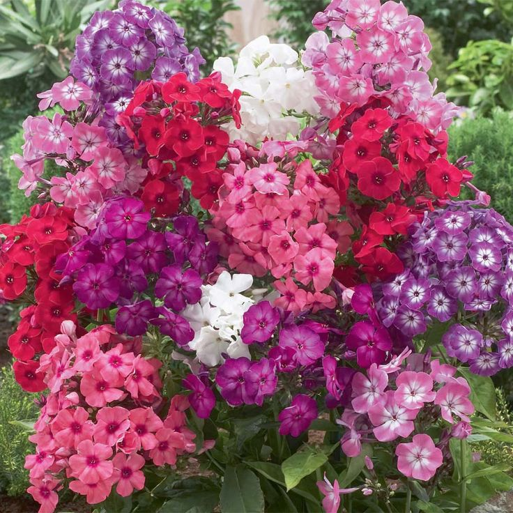 Perennial Phlox Phlox Paniculata 39 David 39 White 39 Nicky