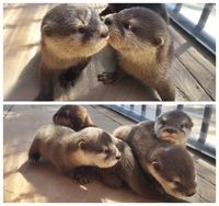 awwww! Cute! — Baby otters (Source: http://ift.tt/1ENCdee)