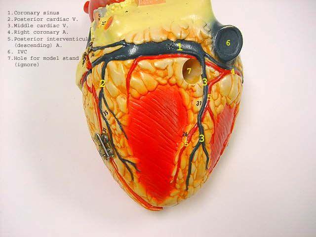 heart_posterior_label.jpg (640×480)