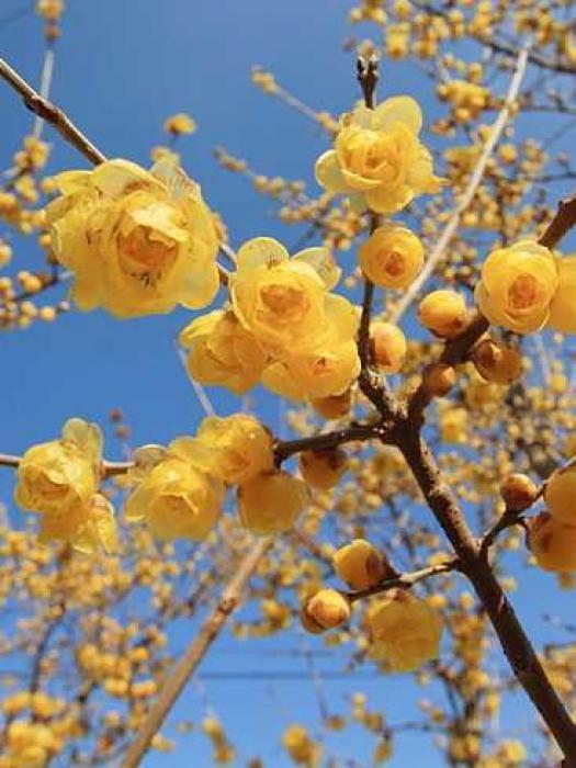 Le chimonanthe est un arbuste aux multiples qualités. Facile à cultiver, il illumine la saison hivernale de sa floraison éclatante et parfumée. Il est tout simplement l'un des plus beaux arbustes à fleurir en hiver ! par Audrey