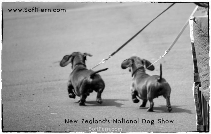 Go go!        Blackhawk Dogs New Zealand's National Dog Show. ... 20  PHOTOS        ... Over 1500 of New Zealand's top dogs came from all parts of the country to compete during three days for the ultimate prize of Best In Show.        Read original article:         http://softfern.com/NewsDtls.aspx?id=1135&catgry=7            photos, SoftFern News, SoftFern photos, photos by SoftFern, Sergiy Bondar, SoftFern Auckland News, New Zealand News, Auckland, New Zealand's National Dog Show…