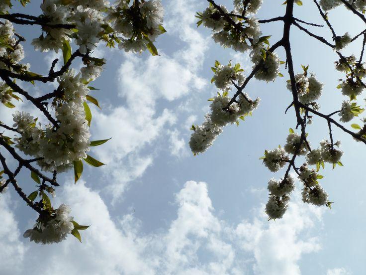 fiori di ciliegio e cielo con nuvole