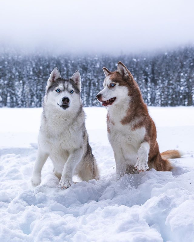 Hanging On To Winter With Our Mighty Husky Paws New Video