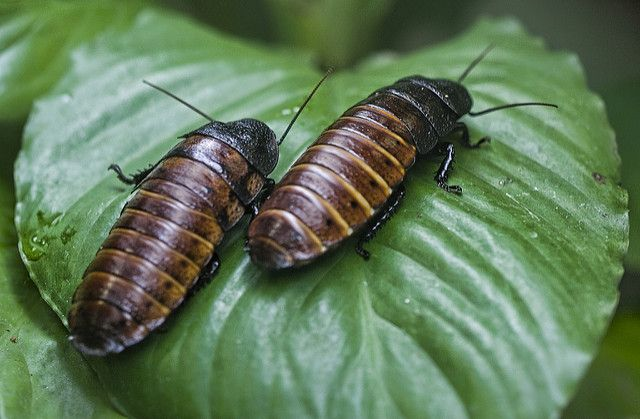 Interesting facts about Madagascar: The hissing cockroaches.