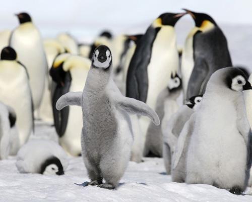 Penguin profiles: 10 fascinating flightless birds
