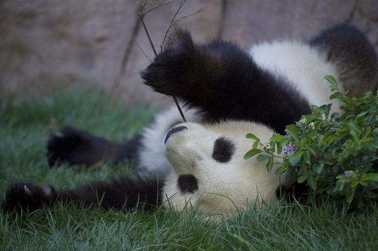 https://flic.kr/p/Kp4EET | Summertime and the living is easy.. | If you are Mr. Wu and you live at the San Diego Zoo.  Xiao Liwu enjoying a cool summer evening.