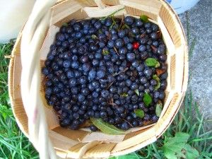 Growing Blueberry Bushes: Tips for Success...good info