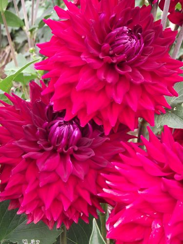 """This rich red 7"""" semi-cactus has the colour sheen needed in reds. Colour saturation is excellent. Blooms are abundant on 4' bushes."""