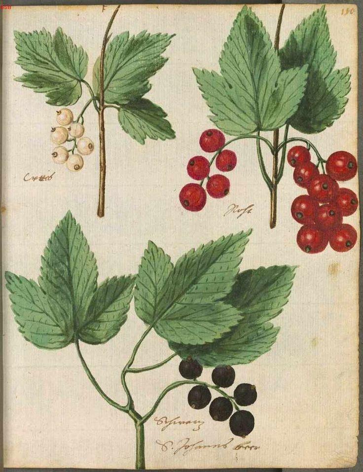 Le Hortulus Monheimensis de 1615 en haute définition (Herbier de fleurs)   Le Jardin des Délices