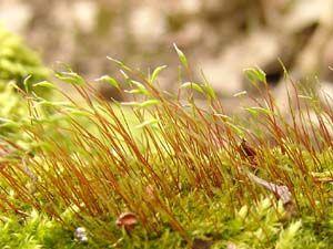 ROHOZUB NACHOVÝ! Patří mezi plevelné mechy rozšířené hlavně u lidských sídlišť.