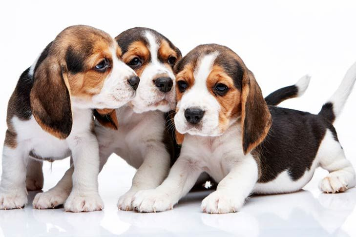 A Timeline Of Puppy Teething Beagle Puppy Cute Beagles Puppy