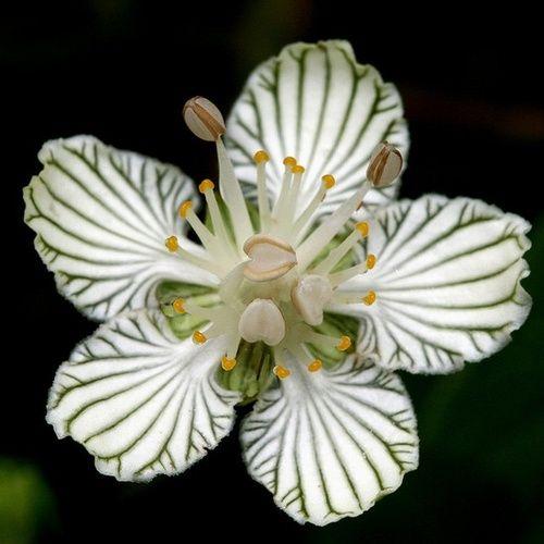 ...Grass of Parnassus (Parnassia asarifolia), an endangered plant of north America.