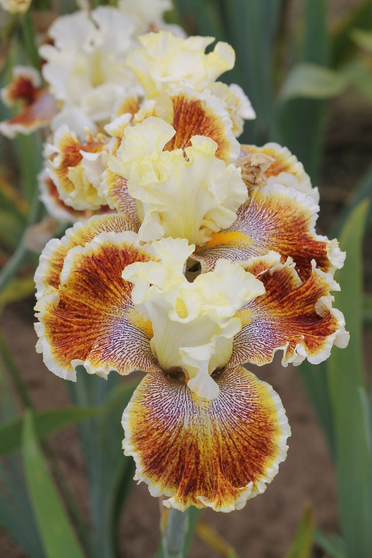 Photo of Tall Bearded Iris (Iris 'Wonders Never Cease') uploaded by ARUBA1334