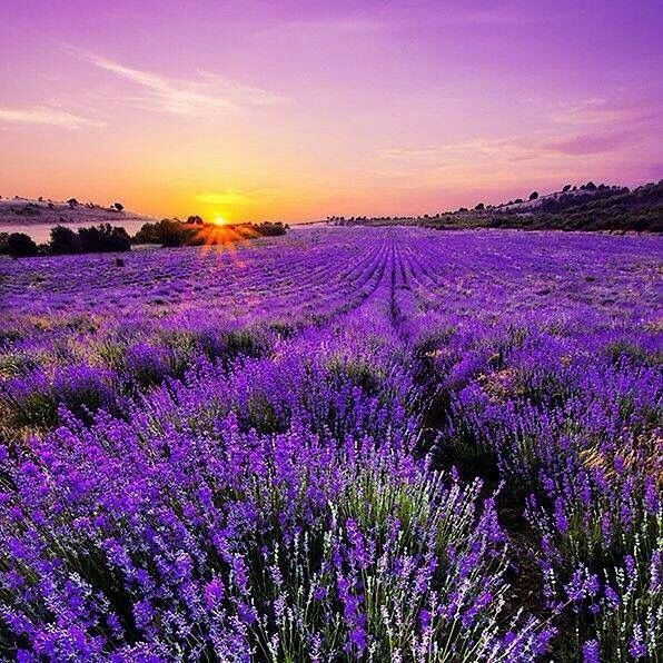 427 Best Images About Polja Lavande,lavender Fields On