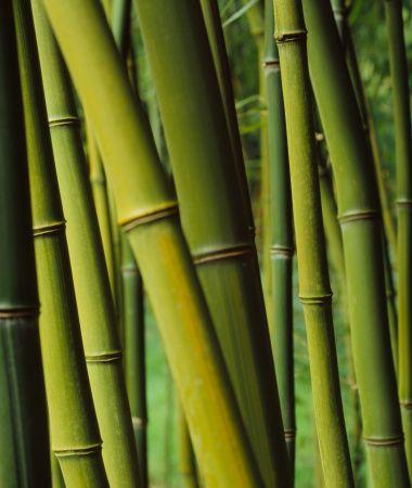 Bamboo Stalks, Close Up