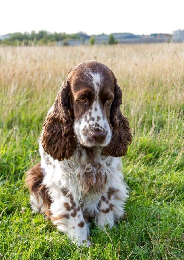 Pin By Sharon Norton On The Best Dog Breed Ever My Babies Springer Spaniel Puppies Spaniel Cocker Spaniel Grooming