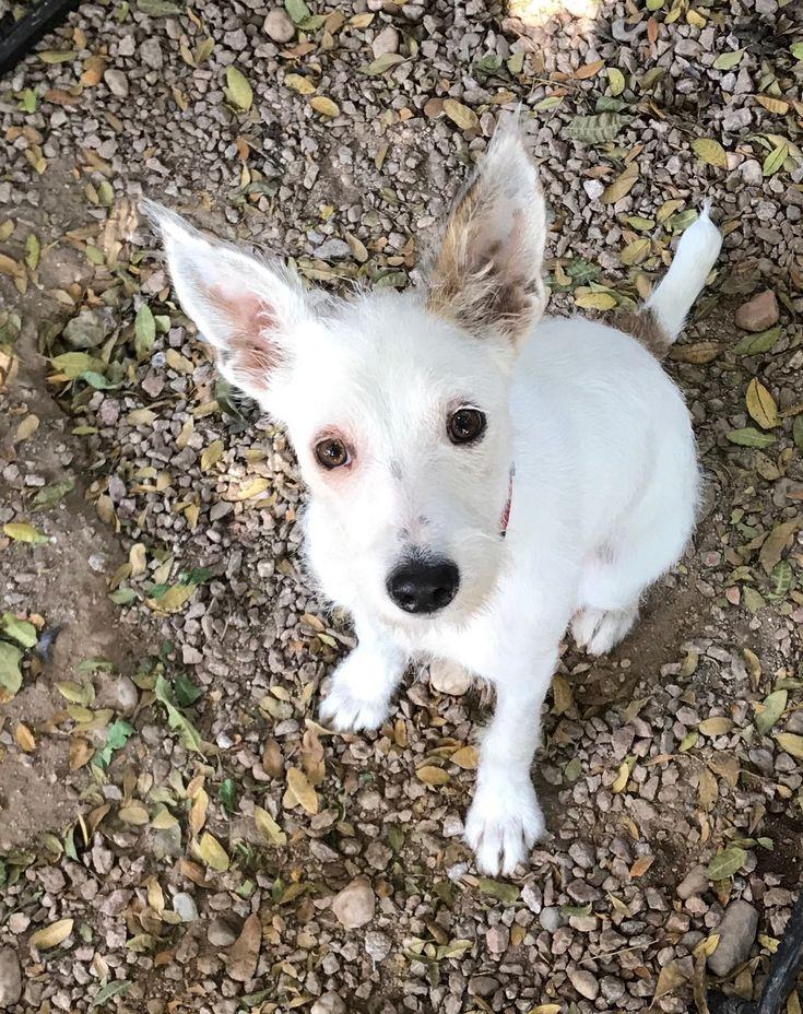 Adopt Cricket on Terrier, Pets, Chandler arizona