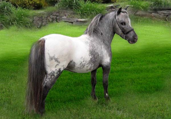 Kolors is a true BLACK Snowcap appaloosa stallion. Miniature Appaloosa and Pintaloosa Horses For Sale in New Jersey