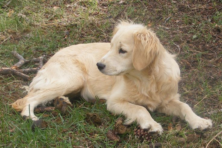Full-grown Golden Cocker Retriever | reliabletexaspower ...