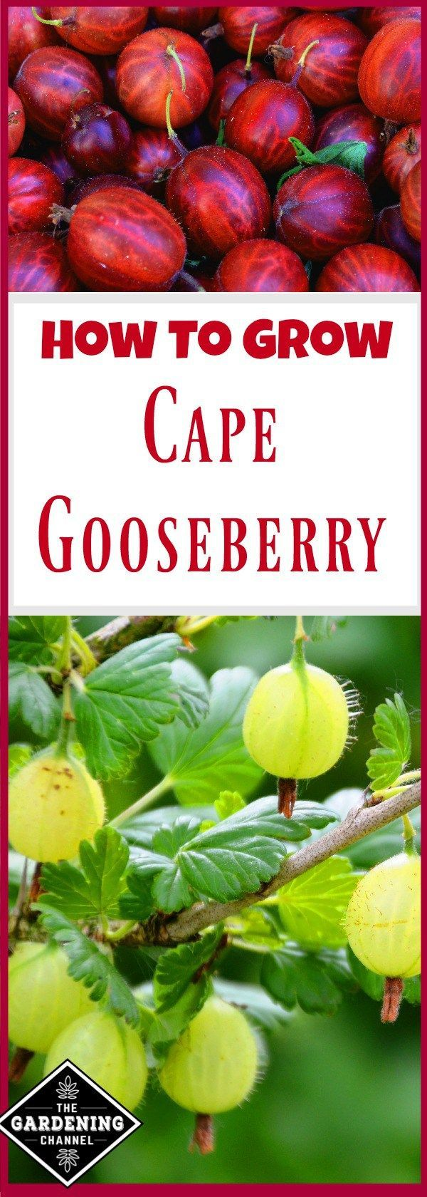 Growing Gooseberry. This plant is often called by other names and grows in the wild. It's worth planting because it is easy to grow in almost any environment. Try this in your garden. #greenhousefarming