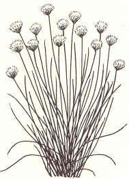 chives line art | chives allium schoenoprasum common chives chives can grow up to 2 tall ...