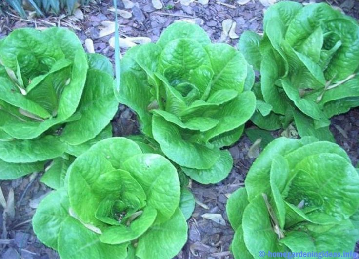 If you want to grow organic vegetables and do this the old fashioned way that has proven very effective, you also need to know the basics of organic vegetable gardening. The first thing you have to know is what is organic vegetable gardening? It is simply a way of farming that does not use any