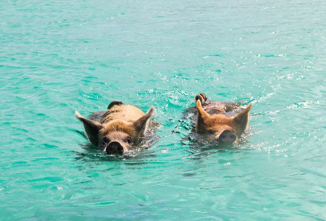 Exuma Bahamas - Eating Conch Dork and Swimming with Feral Pigs @dc123456789 I have done one of the two things so far. :)