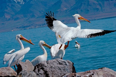 Anaho Island National Wildlife Refuge at Pyramid Lake was established for the benefit and protection of colonial nesting species and other migratory birds, including American white pelicans. It is closed to the public. Photo by Mike Sevon: Mike Sevon, Colonial Nesting, Nesting Species, Migratory Birds, American White, Anaho Island, Including American, National Wildlife