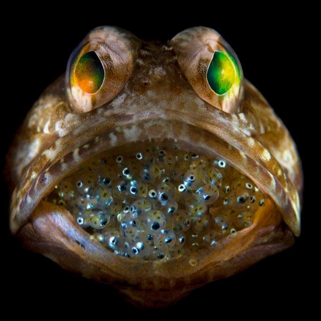 Amazing! Male Jawfish,  Globefish, National Geographic,  Blowfish, Geographic Photos, Jawfish Mouthbroodingoffspr, Photos Contest,  Pufferfish, Animal
