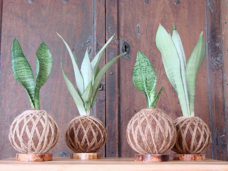 The 25 best lengua de suegra planta ideas on pinterest lengua de suegra planta serpiente and - Plantas interiores ...