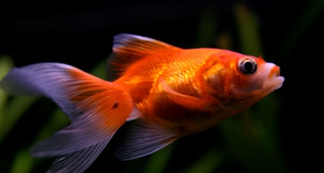 63 best images about aquarium on pinterest malawi for Koi goldfish care