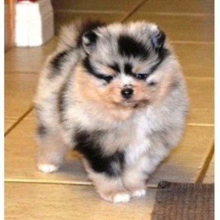Deanna, Pomeranian Breeder | Hesperia, California | FreedogListings