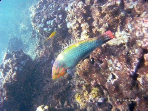 The fish, Amed Beach (Bali - Indonesia).