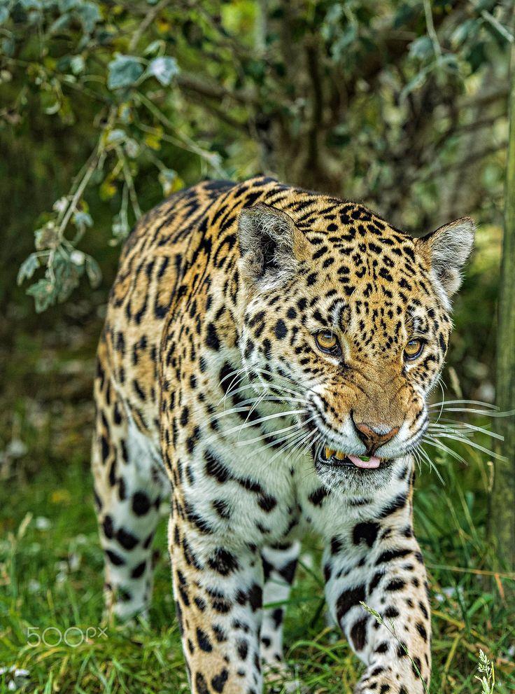 Jaguar - Taken at The Big Cat Sanctuary in Kent.