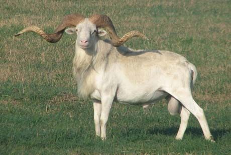 White Mouflon | Exotic Hunting | Texas Hunting Forum