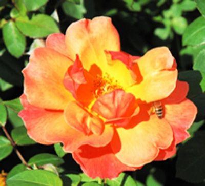 Anneu0027s Rose   The Antique Rose Emporium   Living Easy